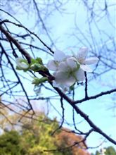 小原四季桜祭り開幕♪