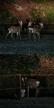 鹿の群れに遭遇(^^♪