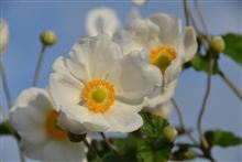 秋の名を持つ お花