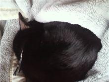 ネコは毛布で丸まってます~