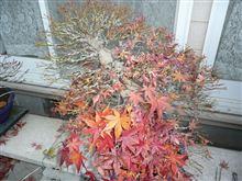紅葉後のモミジの盆栽の手入れ