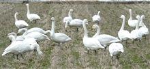 白鳥in柴山潟2