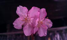 桜の季節がやって来ましたね