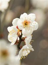 梅林 ~ 3~4分咲き