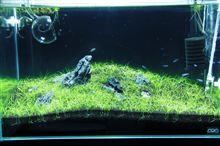 60cm水槽3期 2013年2月4週 4週目 経時変化