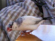 チビの通院…  ( ´△`)      (鳥の話しなので、興味のない方はスルーしてくださいね