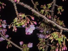 河津桜 in Miura