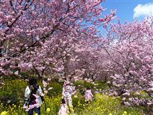 雪割桜 満開