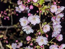そして桜も・・・
