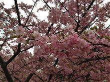 河津桜を観てきました☆