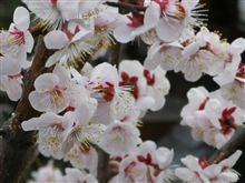 梅の花...