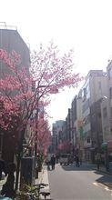 日本橋の早咲きの桜