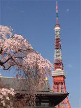 増上寺と桜