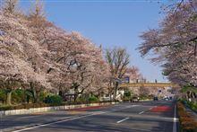 国立大学通り 桜並木