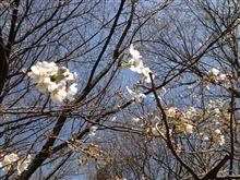 桜の開花と共に
