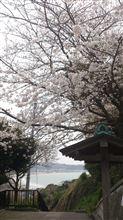 鎌倉にて サクラと海