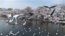 【非クルマ】 桜を見てきました