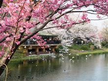 池と桜とカモメと