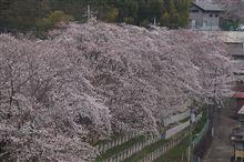 桜と鉄道を。