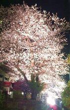 夜桜 2013