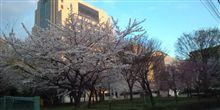 今日は上野公園でお花見に行ってきます。