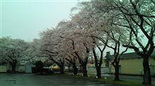 今日は 会社で 桜のお花見でした この雨で 葉桜になりそうです 残念