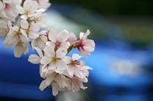 都心の桜まだイケる