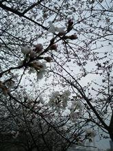 とうとう桜が( ̄▽ ̄;)
