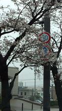 桜開花しましたね~♪