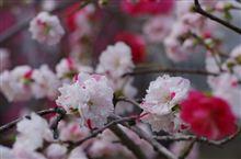 満開の桜も良いけれど