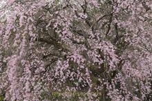 さくら 神奈川の名桜をたずねる