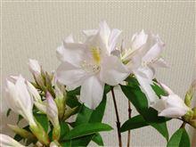 セイシカの花の色の違い