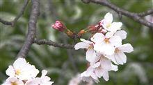 桜のちおやま・・・(^^;