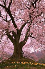 わに塚の桜@2013