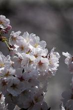 さくら 桜 サクラ