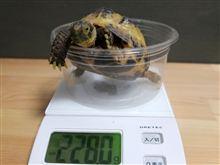 2013.4.3 かめ吉の身体測定