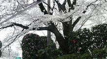 2013年桜と、オフ予告・・・雨予報('A`)