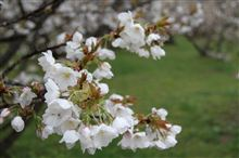 京都の桜 <仁和寺、醍醐寺、豊臣秀吉醍醐の花見跡>