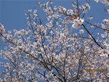 桜見納め(´∀`)