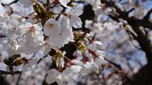 桜!まだ早かった・・・・・・