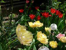 ワタシ キレイ? 今年も咲いてます。