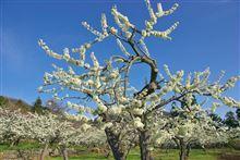 甲府盆地  桜めぐりをHPにアップ