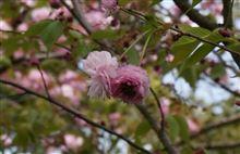 飯川のヒヨドリ桜
