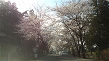 母校の桜…