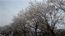 朝から体調が… 地元の桜もやっと満開になりそうです