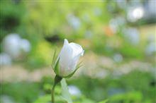 バラの咲く頃