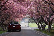 そろそろ桜も最後か・・・。