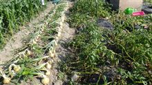 ジャガイモ 本収穫 開始