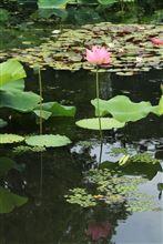 万博のハス池に撮りに行ってきました♪