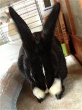 ミニウサギのひーちゃんですw